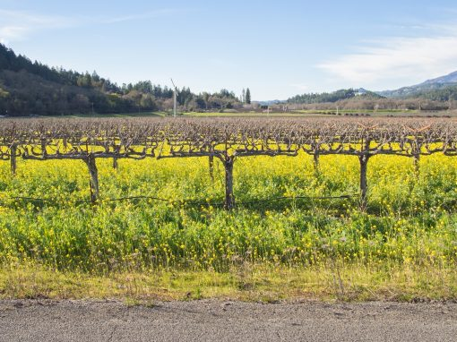 napa vineyard with mustard
