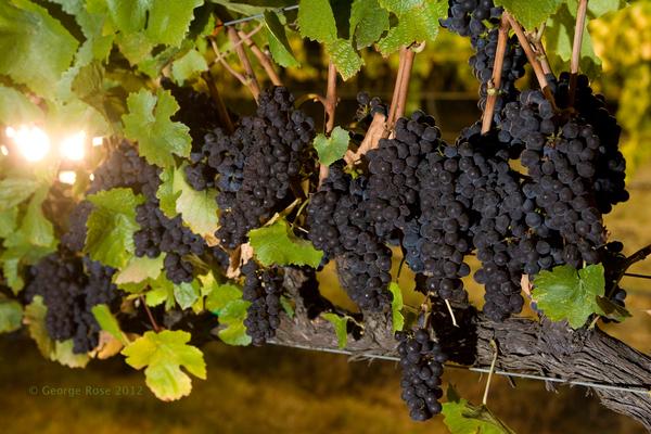 vinography_desktop_night_harvest_grapes.jpg