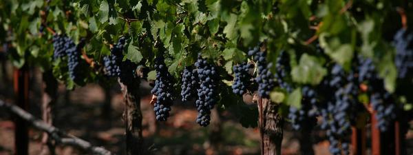 grapes_crop2.jpg