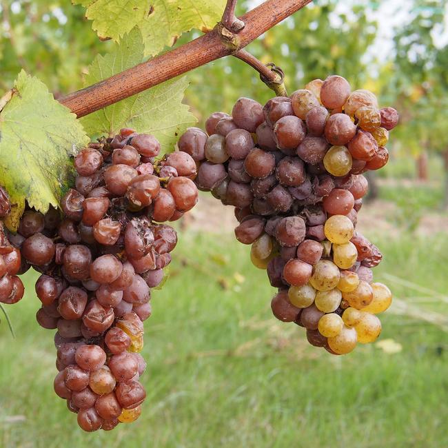 bigstock-Botrytised-Chenin-Grape-Early-52242862.jpg