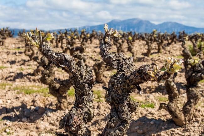 bigstock-vineyard-close-up-96187196.jpg