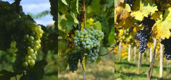 grapes_of_austria.jpg
