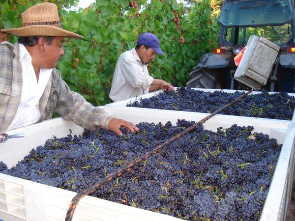 kutch_grapes.JPG