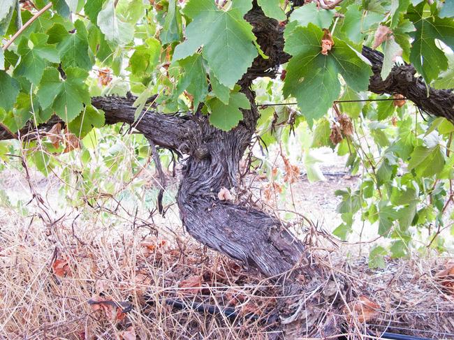 old_vine_australia.jpg