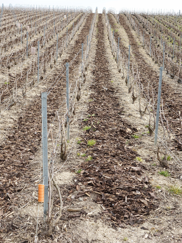 tree_bark_vineyard_champagne.jpg