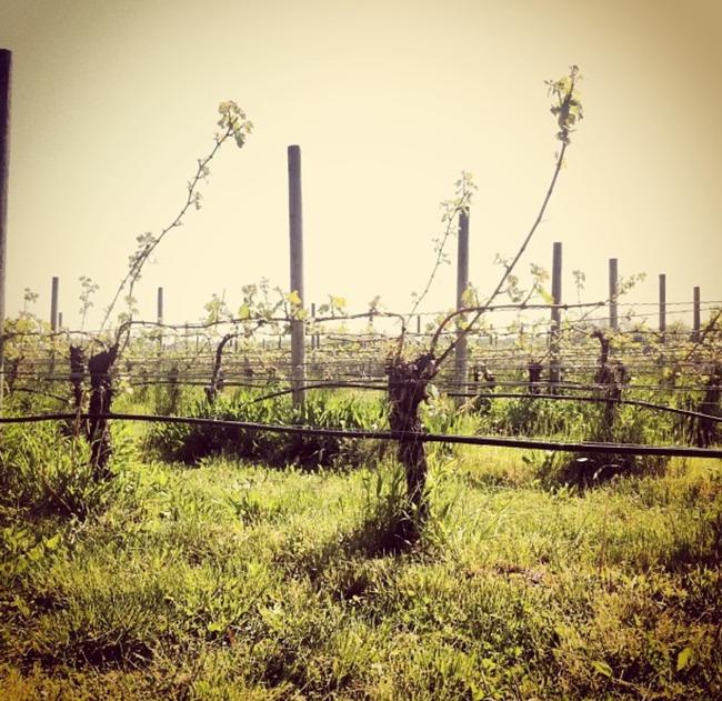 vines_shinn_estate.jpg