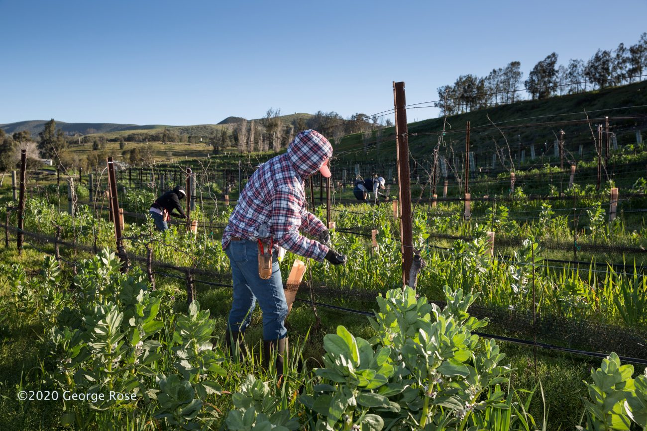 Spring in a Lompoc vineyard