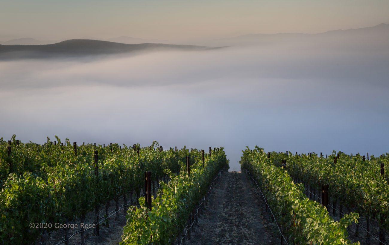 Vineyard and fog