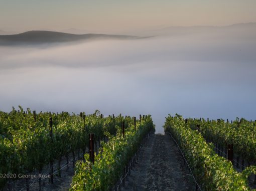Vineyard and fog