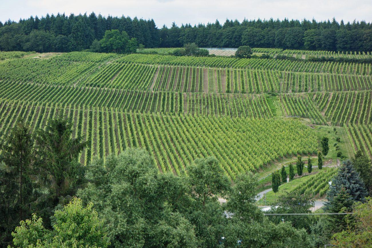 Robert Weil's vineyards