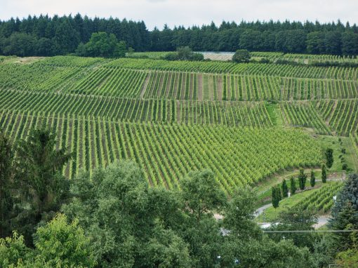 Robert Weil's vineyards