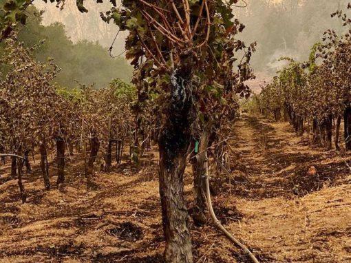 charred vines