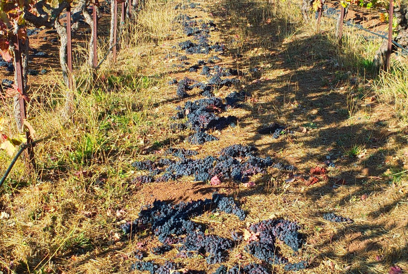 discarded Zinfandel