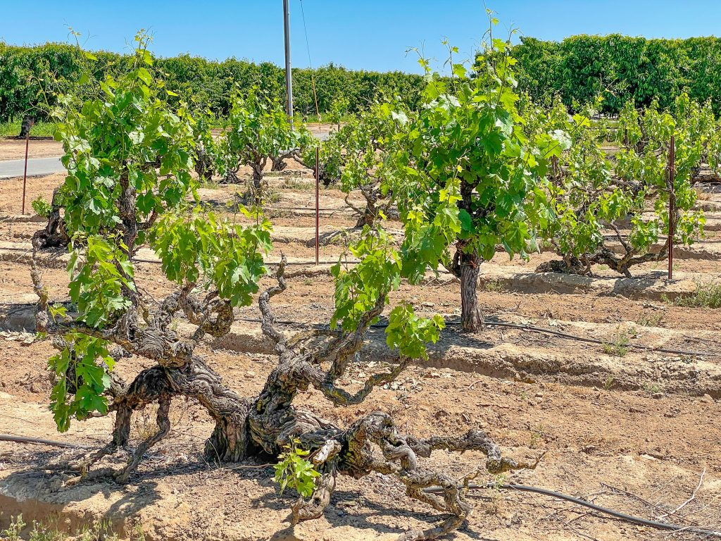 Rous Vineyard