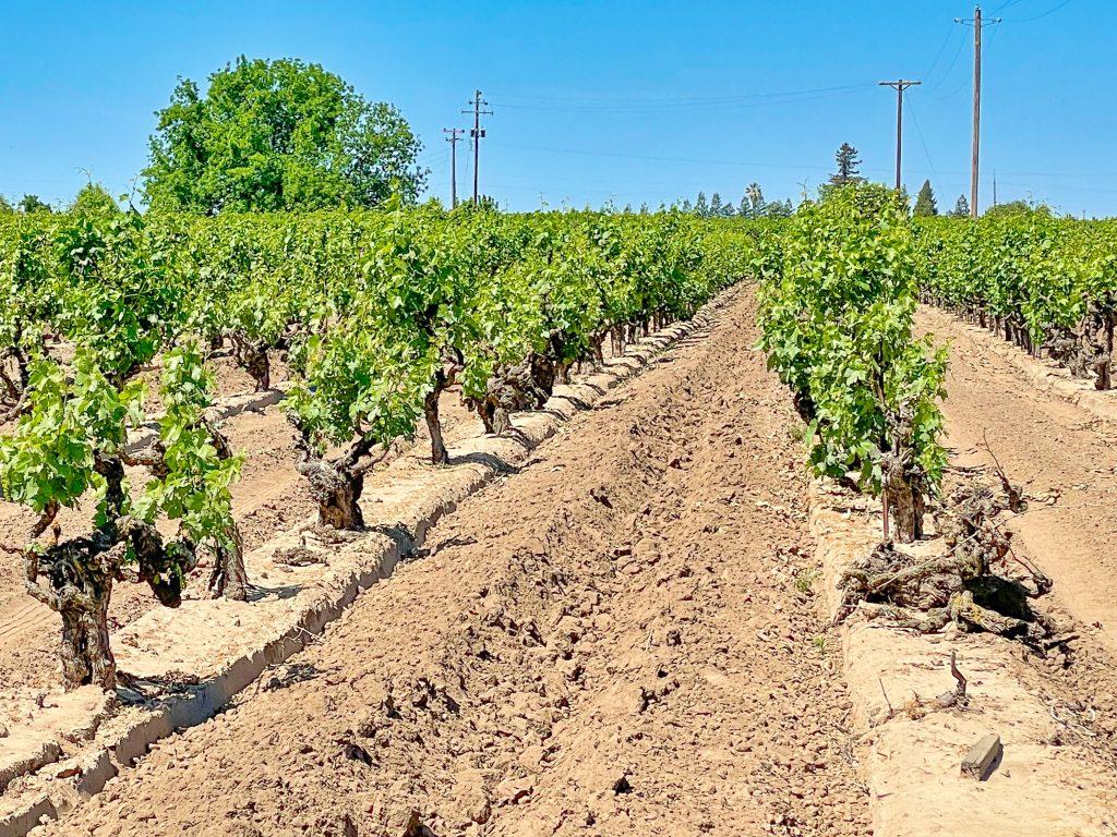 Scottsdale Vineyard