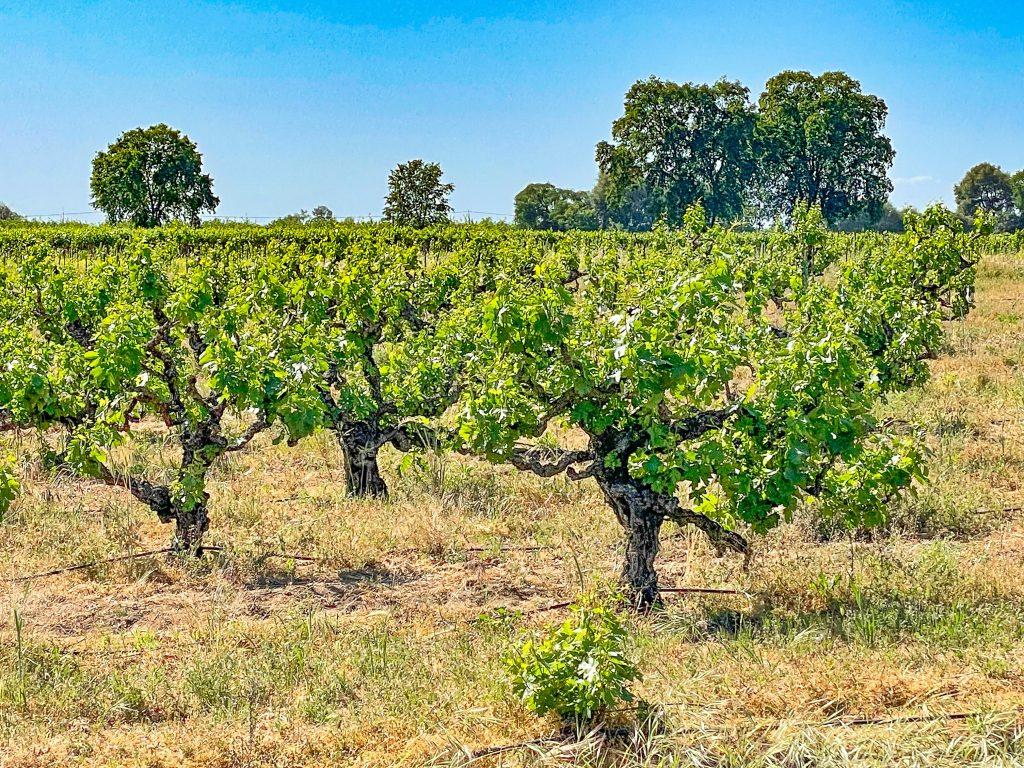 Stampede Vineyard